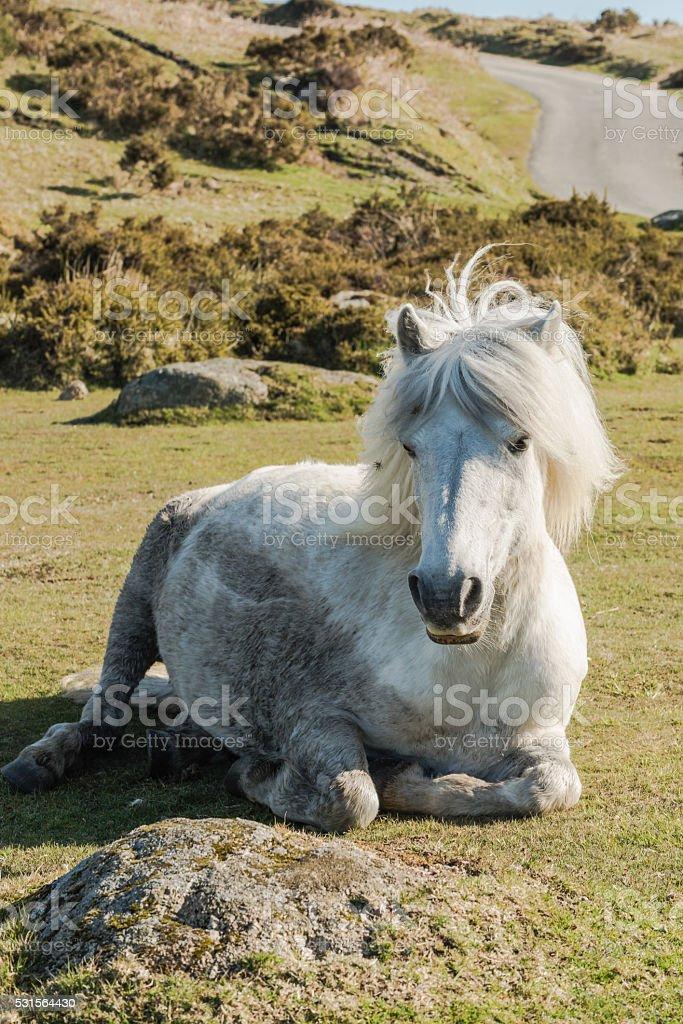 Dartmoor wild pony resting on grass stock photo