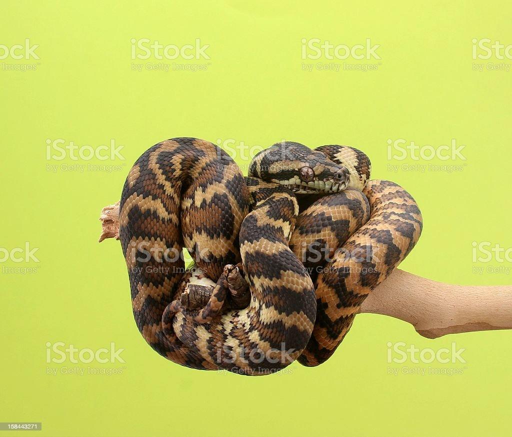 Darwin python snake royalty-free stock photo