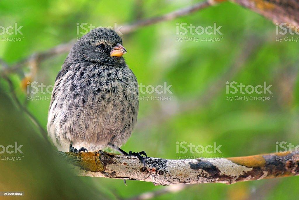 Darwin's Finch stock photo