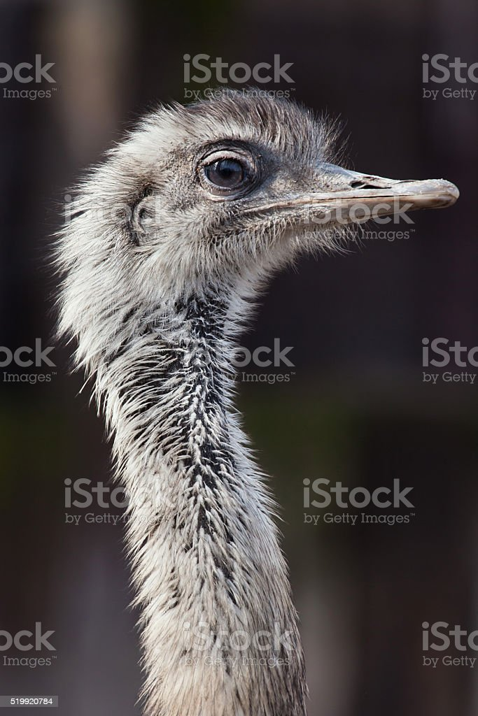 Darwin's rhea (Rhea pennata) stock photo