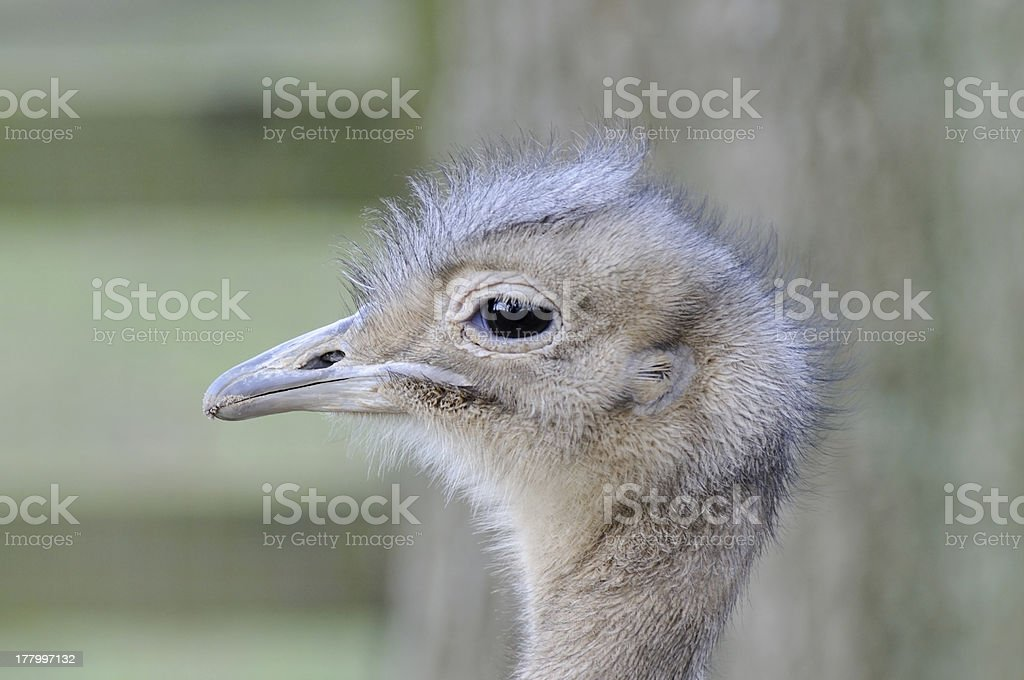 Darwins Rhea Profile royalty-free stock photo