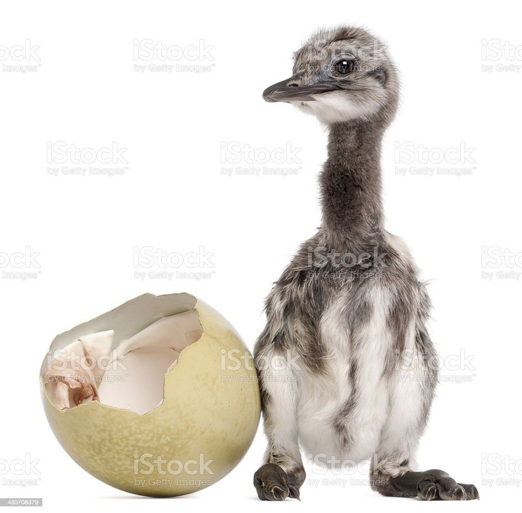 Darwin's Rhea with hatched egg, 1 week old stock photo