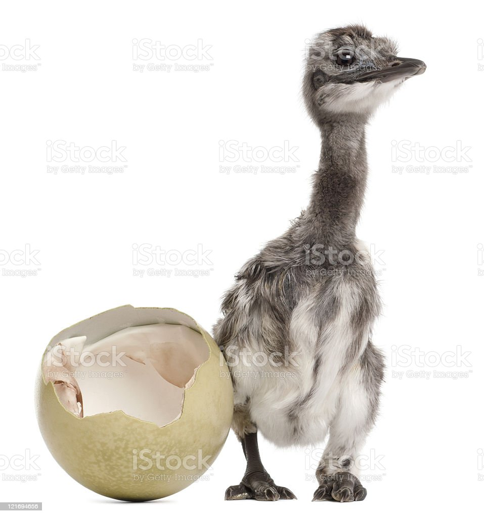 Darwin's Rhea with hatched egg, one week old, white background. stock photo