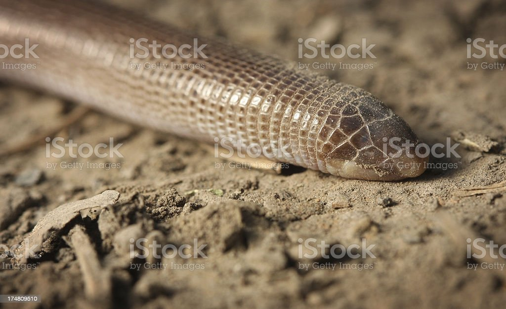 Darwin's Worm Lizard ( Amphisbaena Darwini ) royalty-free stock photo