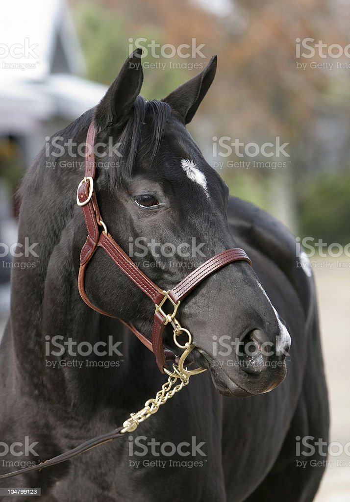 Dary Bay Horse stock photo