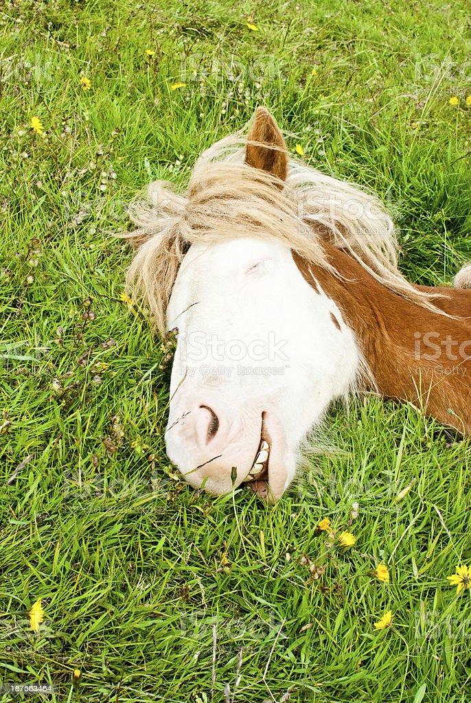 das lachende Pferd stock photo