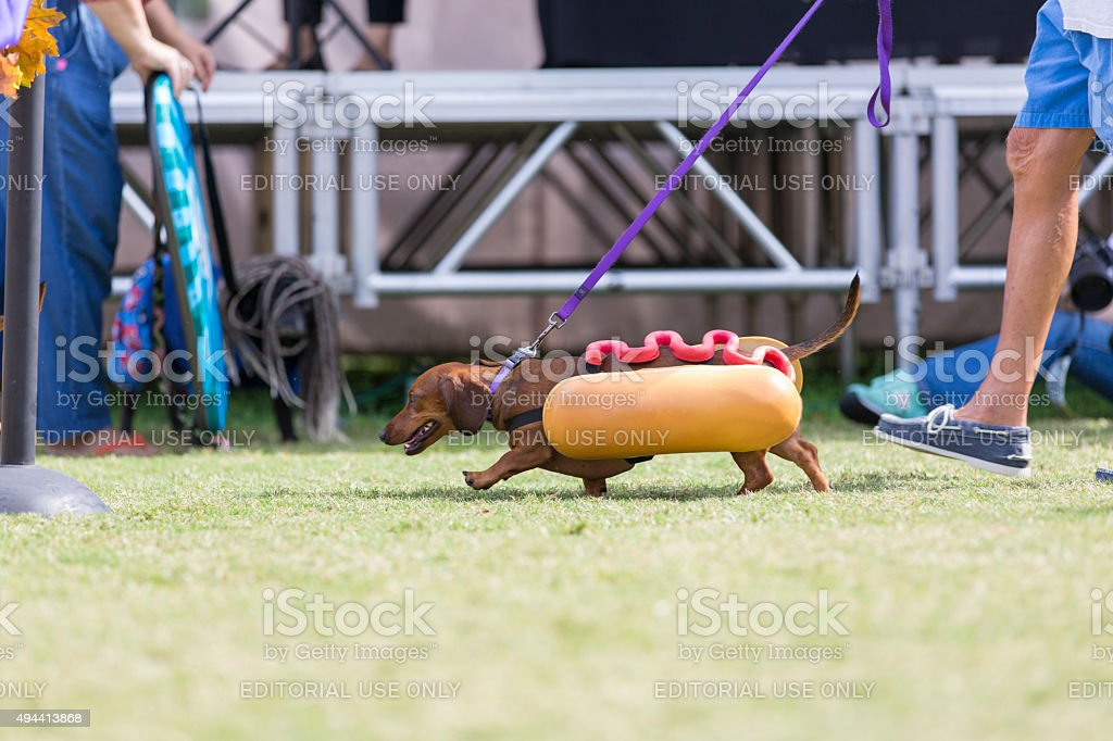 Daschshund Dressed as a Hot Dog Walking stock photo