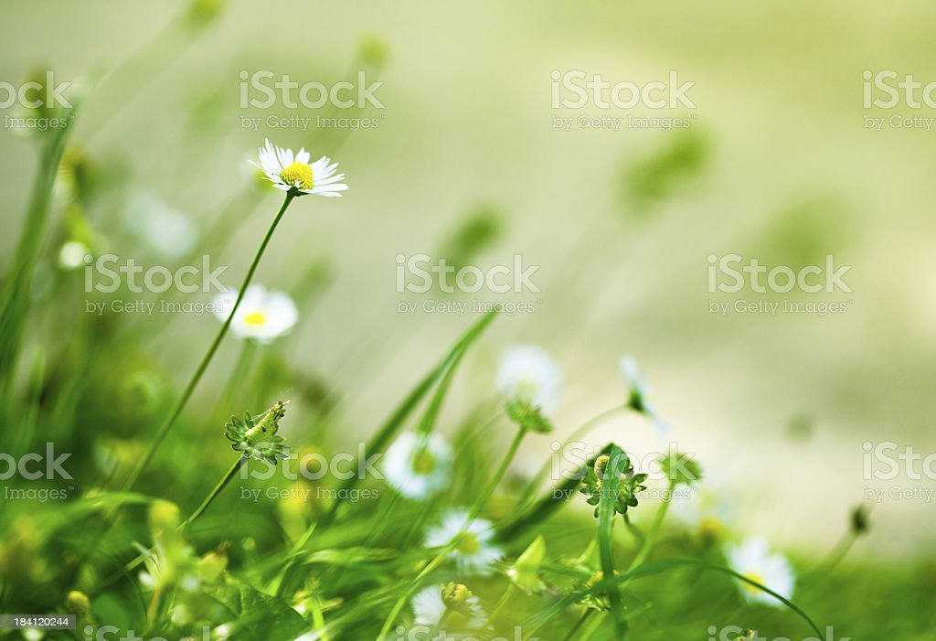 Dasies in the field royalty-free stock photo