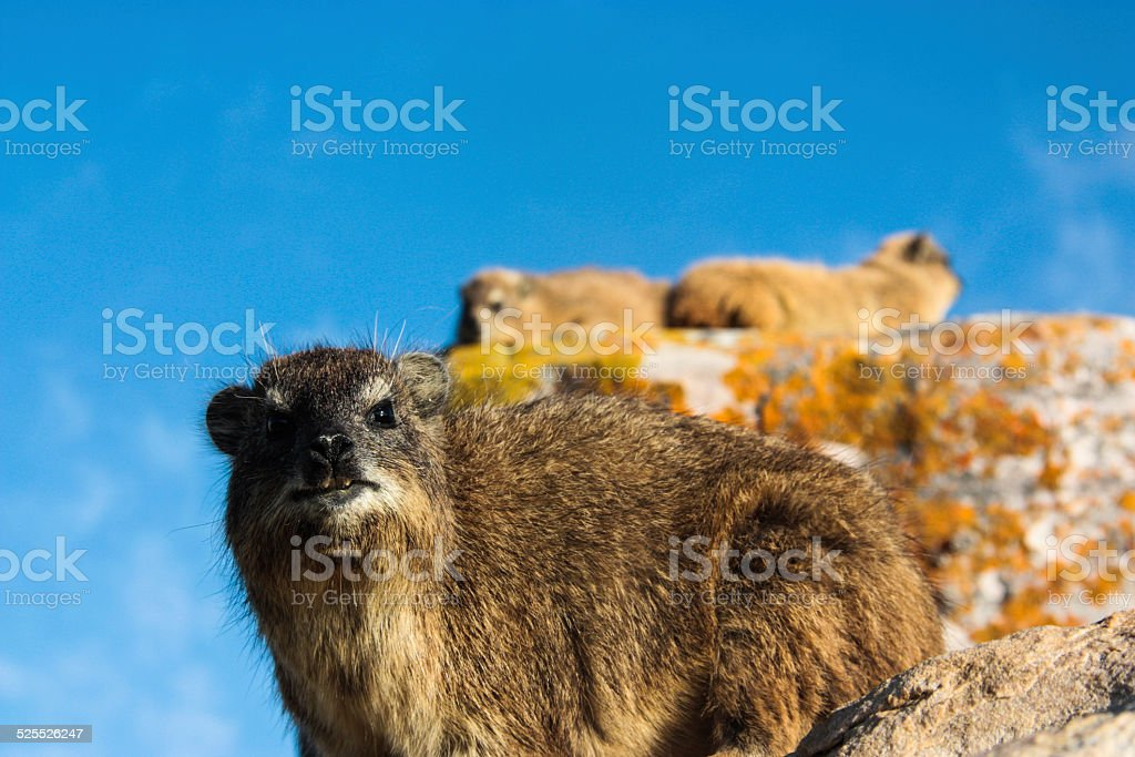 Dassie at Cape of Good Hope stock photo