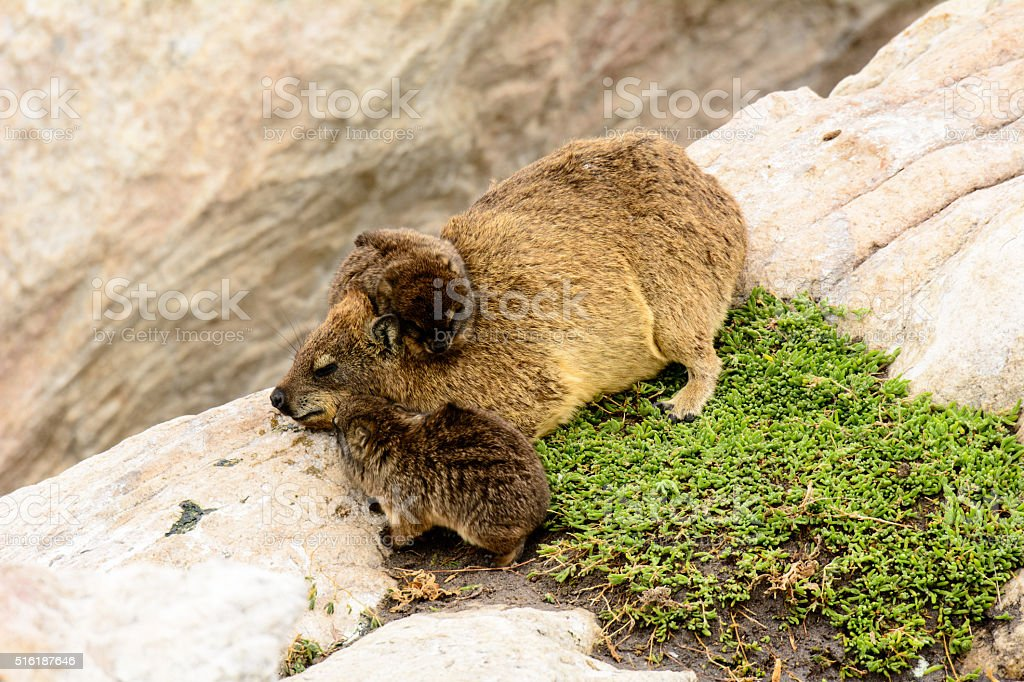 Dassie Mother with her babies stock photo