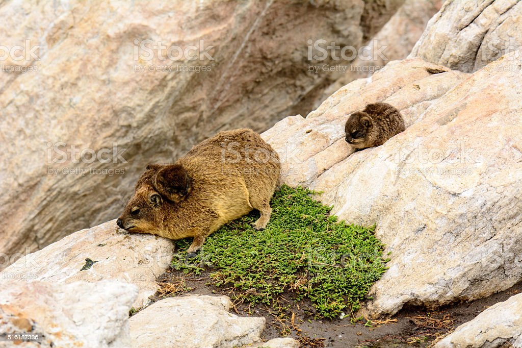 Dassie mum and babies stock photo