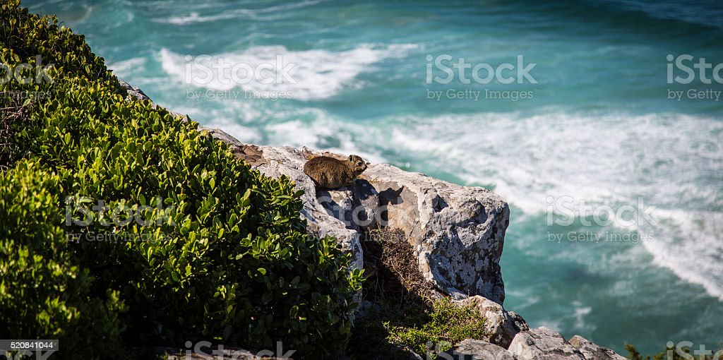 Dassie on a rock by the ocean stock photo