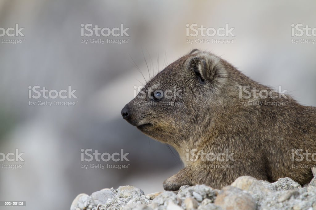 Dassie stock photo