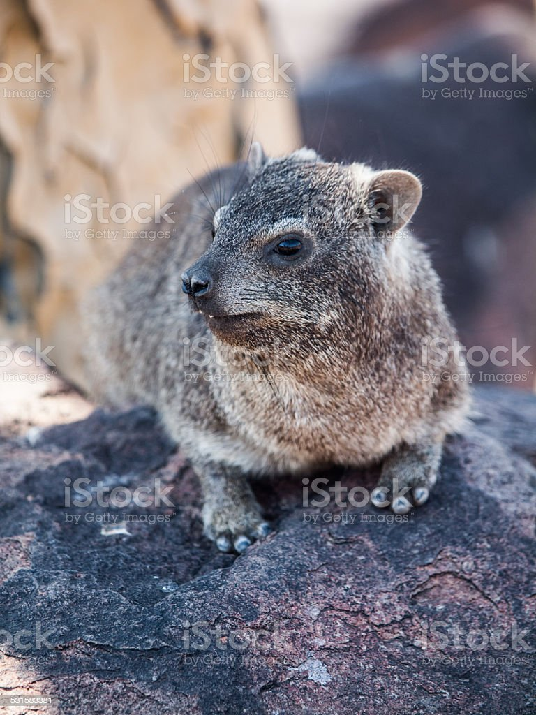 Dassie rat (Petromus typicus) stock photo