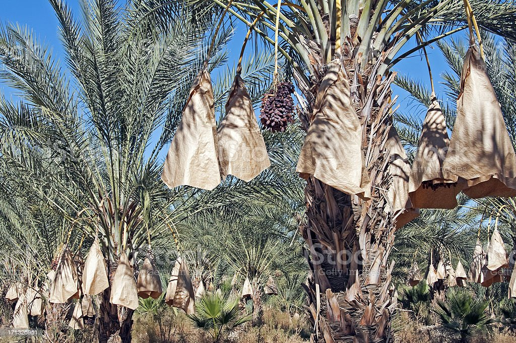 Date bunches in palm grove ready for harvest royalty-free stock photo