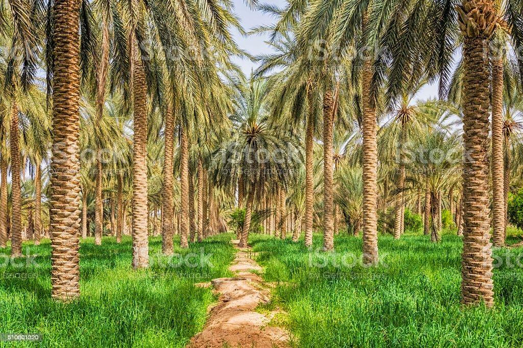 Date palm grove in desert oasis Douz / Tunisia / Africa stock photo