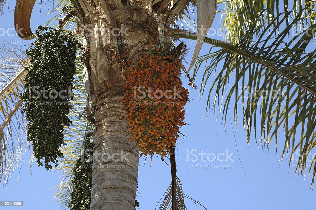 date palm, Phoenix dactylifera stock photo