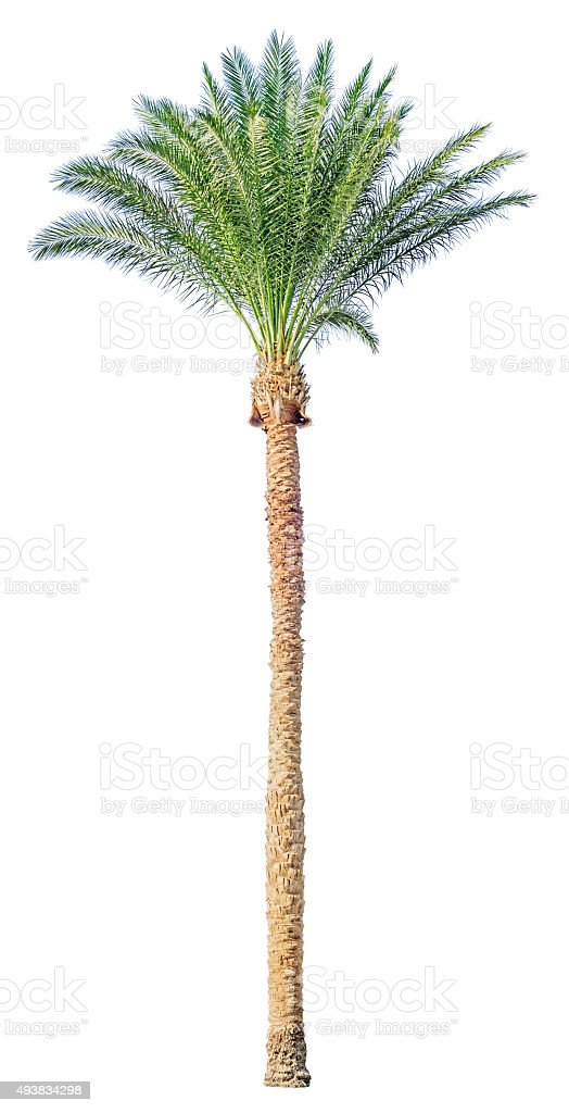 Date palm tree isolated stock photo