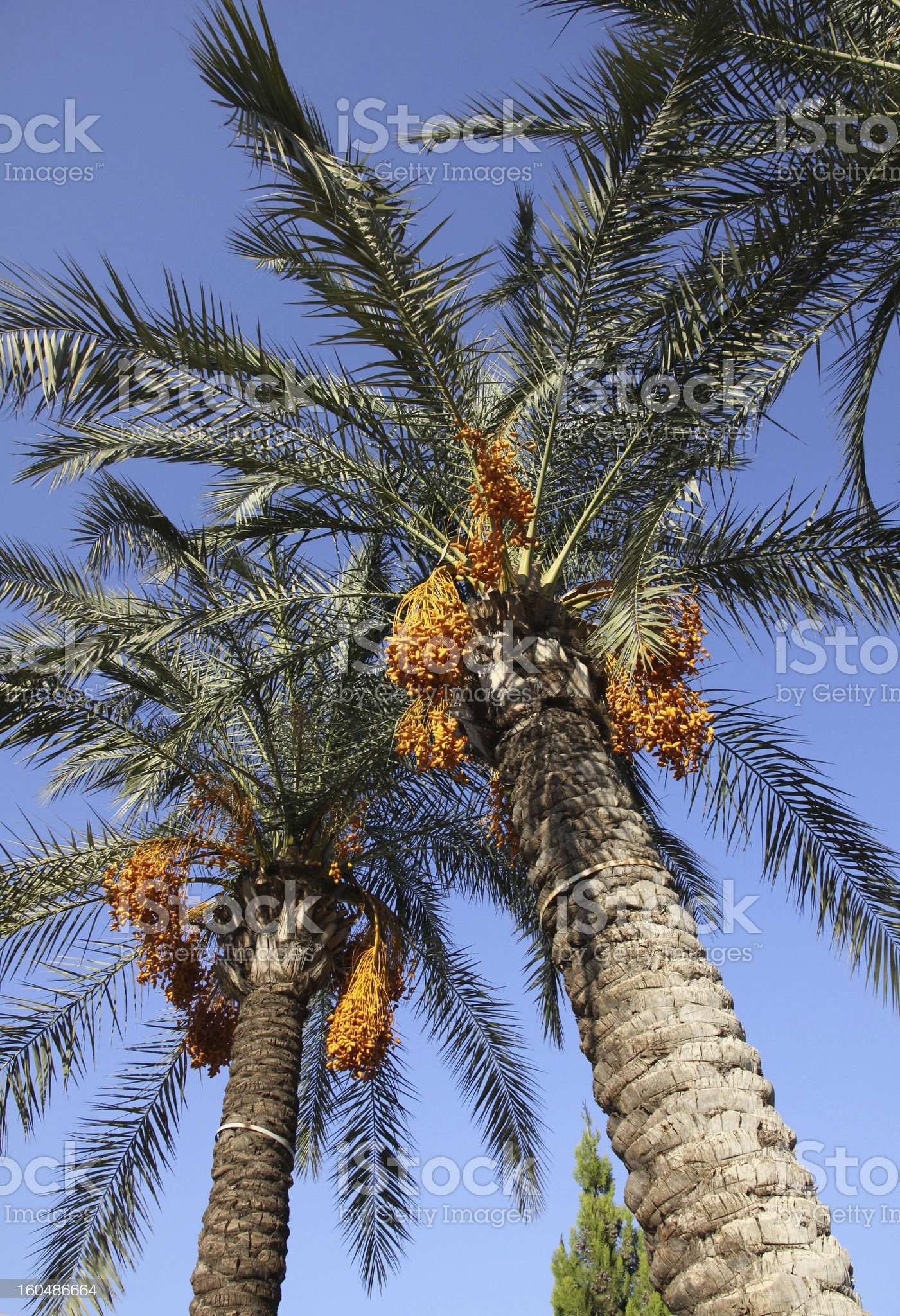 Date palm tree with dates royalty-free stock photo