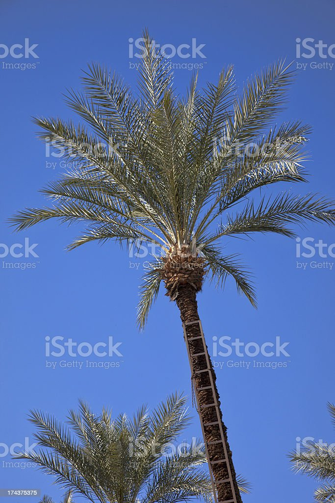 Date Palm Tree With Ladder royalty-free stock photo