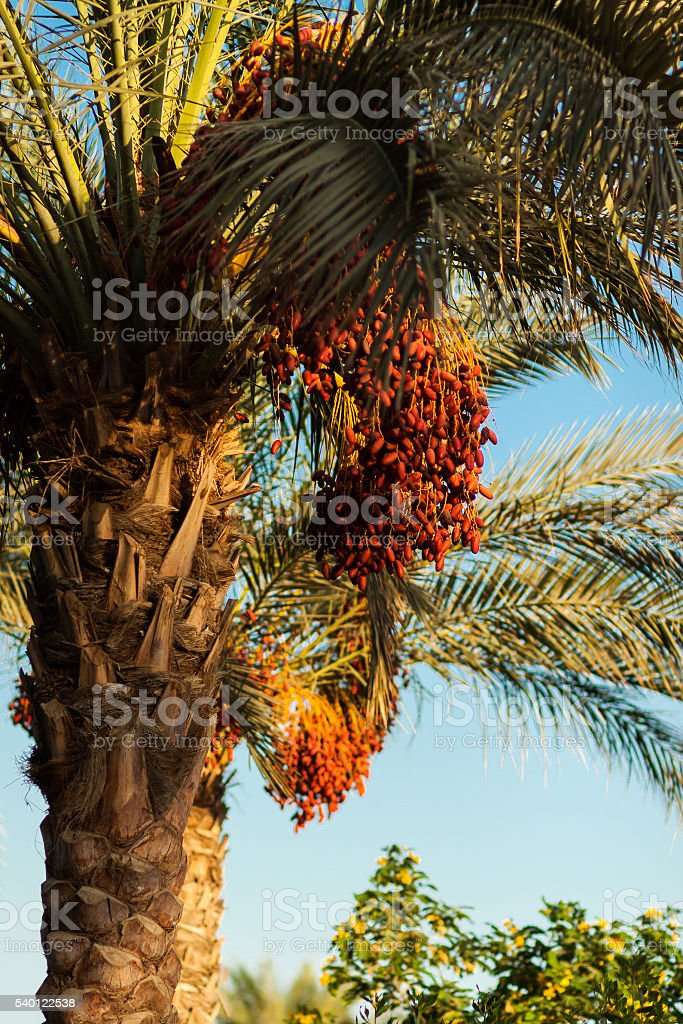 Date palm tree with red dates stock photo