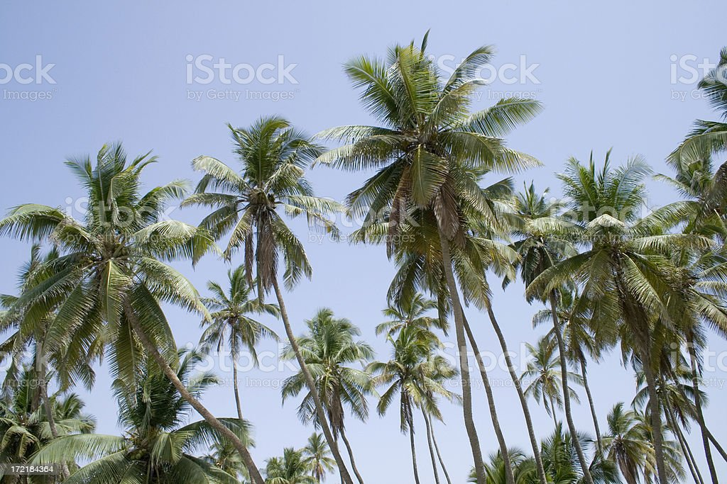 Date palm trees - Oman stock photo