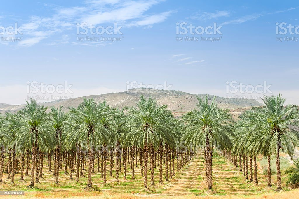 Date palm trees on orchard plantation in Galilee stock photo
