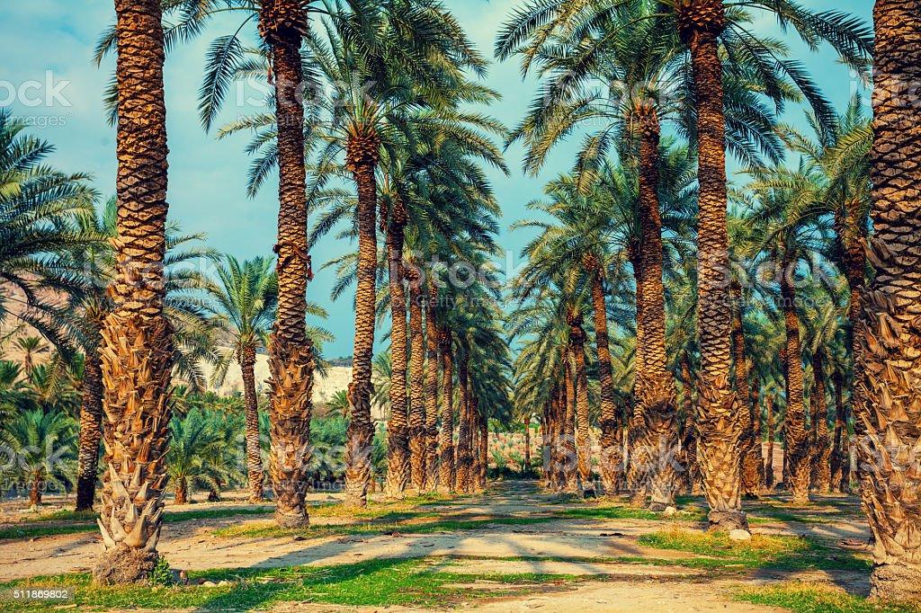 Date palm trees plantation stock photo