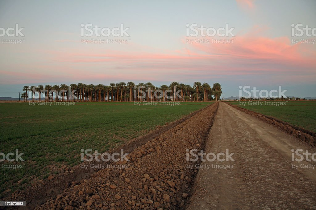 Date Palms And Agriculture In The Desert Of Arizona stock photo