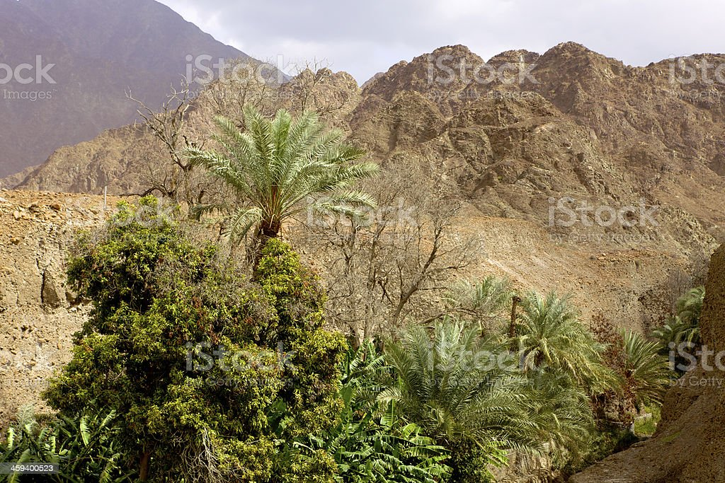 UAE: date palms and fruit trees in Arabian desert wadi. royalty-free stock photo