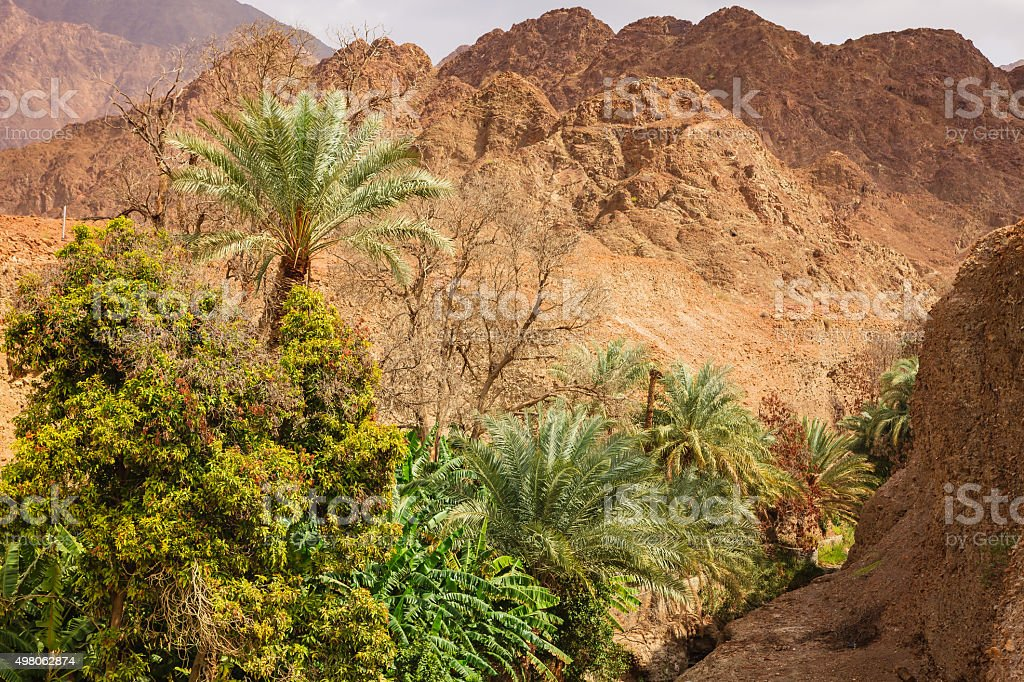 UAE: date palms and fruit trees in Arabian desert wadi. stock photo