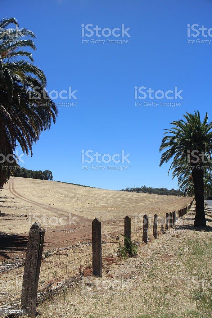 Date palms overlooking vineyard in distance stock photo
