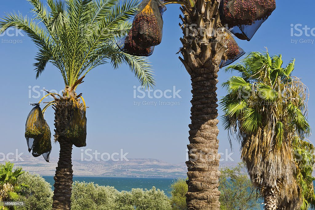 Date Palms royalty-free stock photo