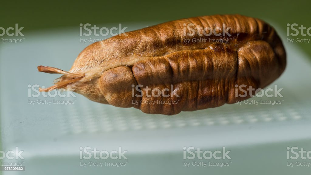 date seed stock photo