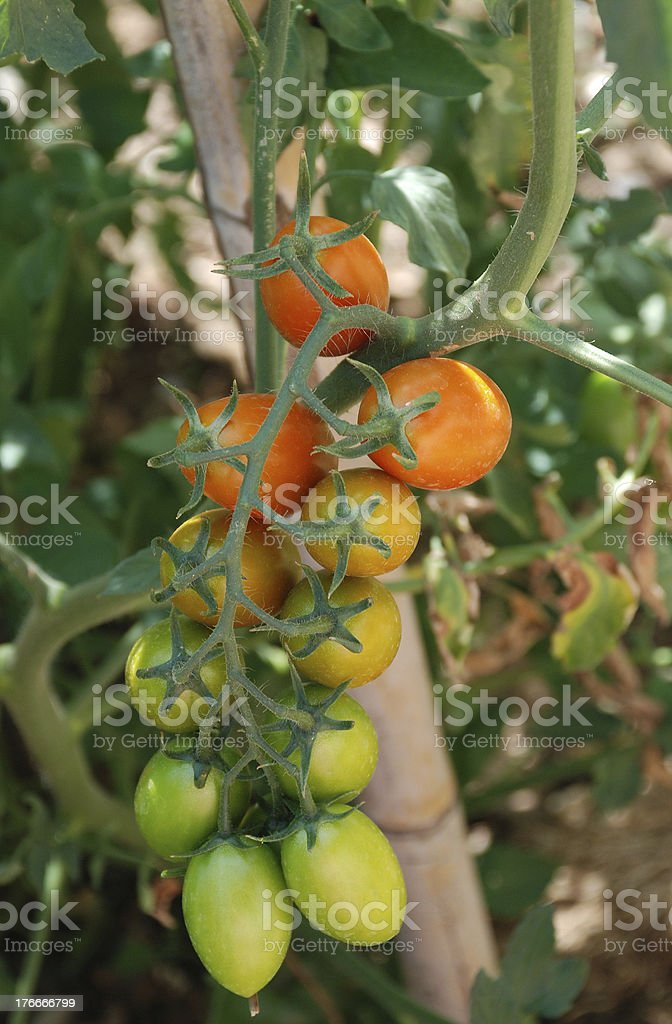 Date Tomatoes Ripening on Vine stock photo