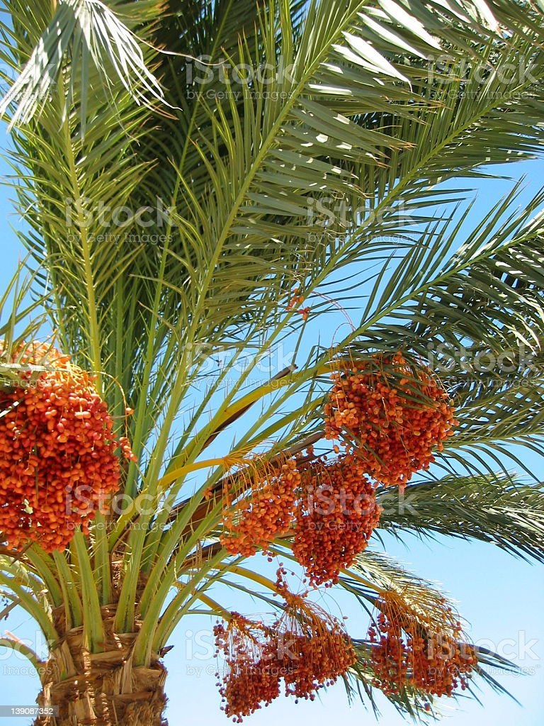 Dates palmtree stock photo