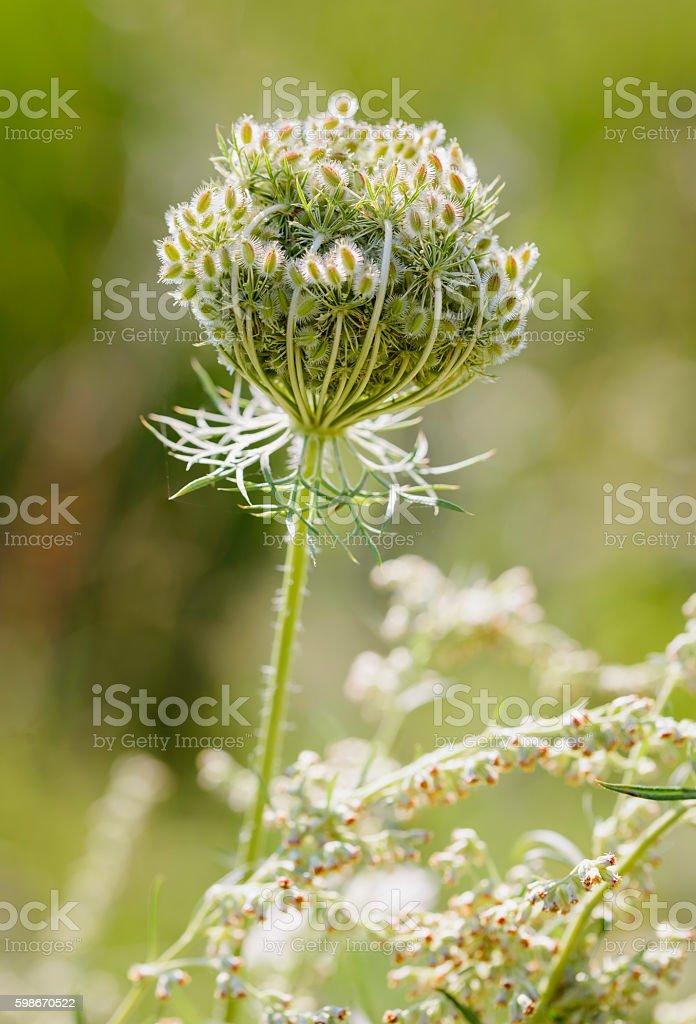 Daucus Carota Flower stock photo