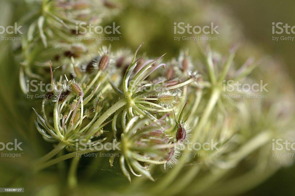Daucus carota 花開きます。 ロイヤリティフリーストックフォト