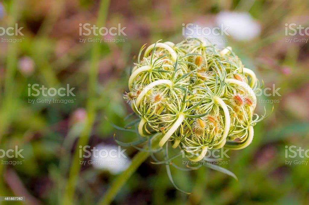 Daucus Carota stock photo