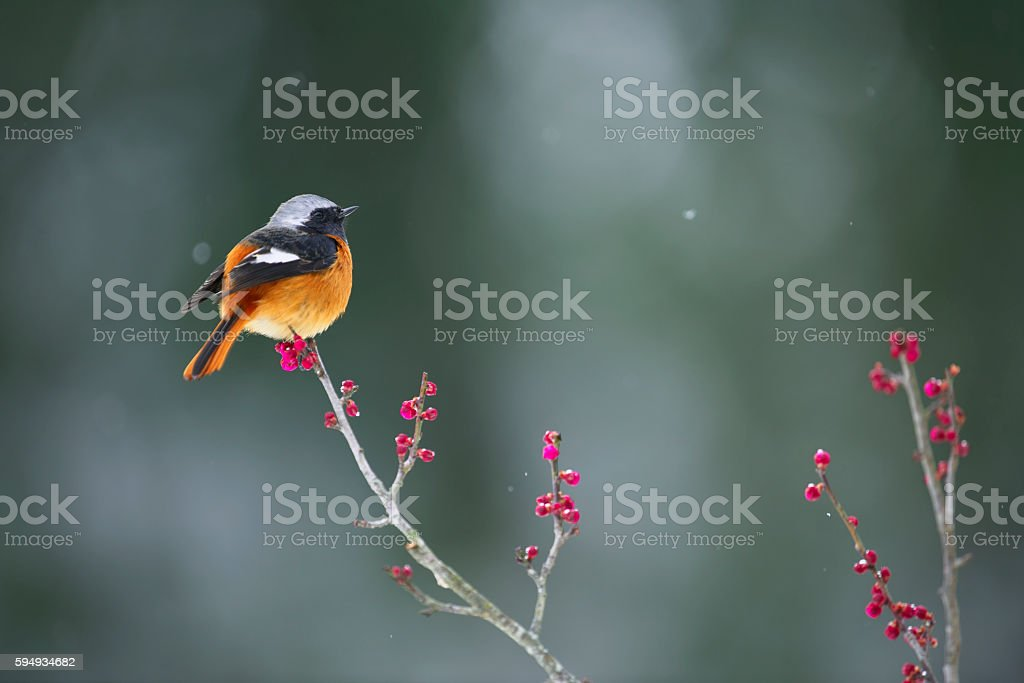 Daurian redstart and plum in the snow stock photo