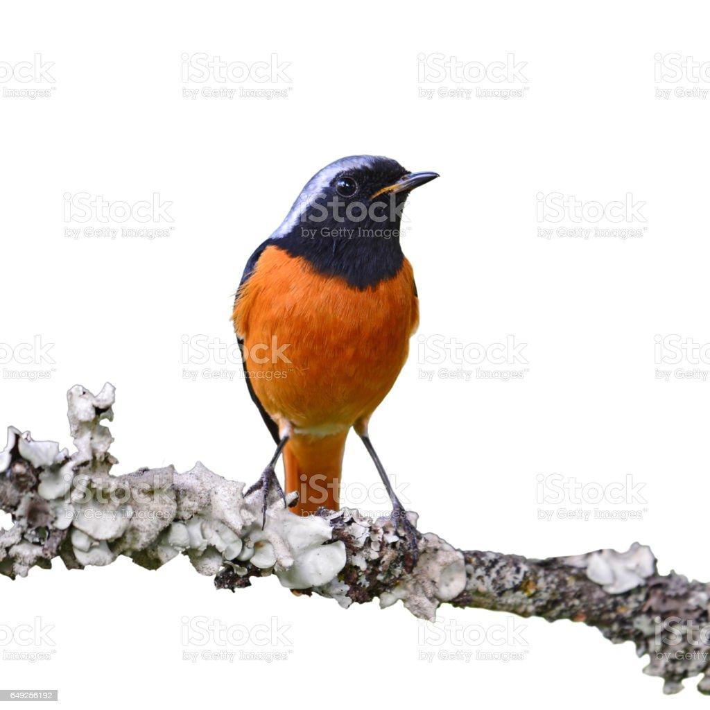 Daurian Redstart bird stock photo