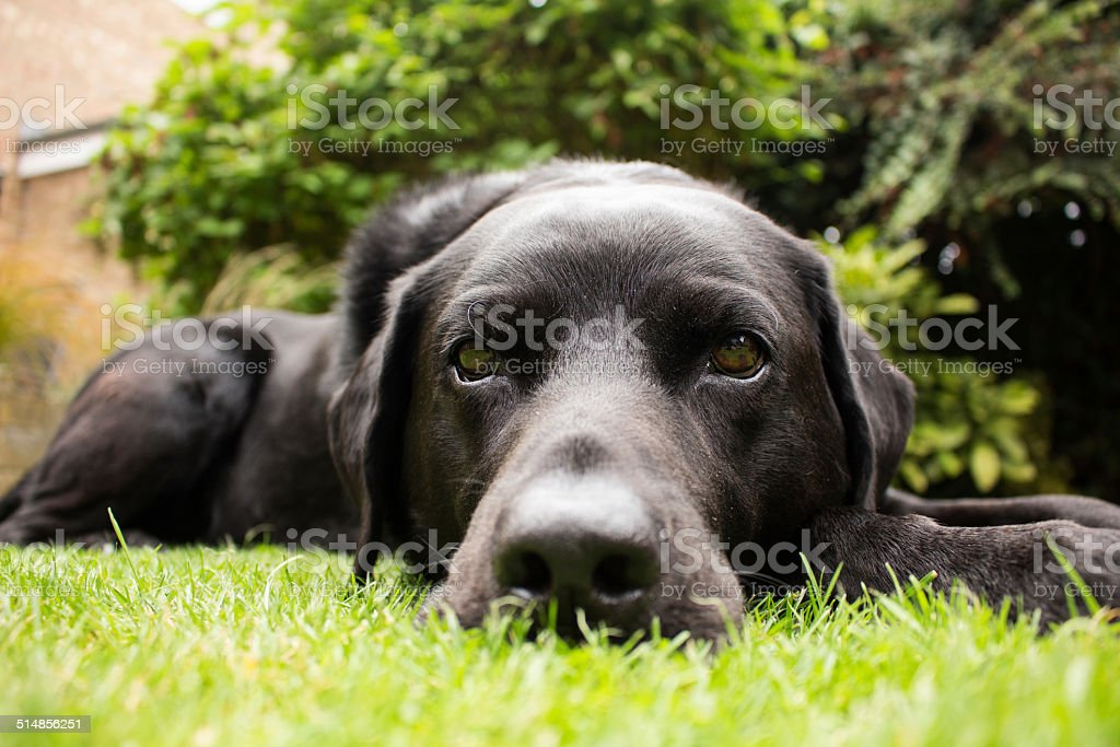 Dave the Labrador stock photo