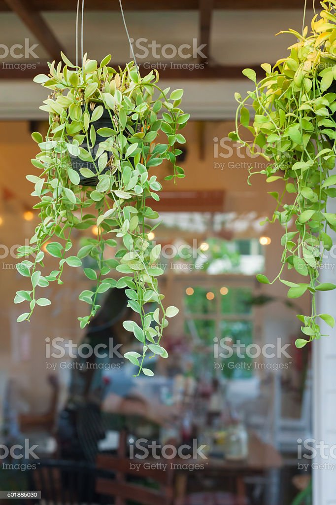 Dave tree hanging in front of the coffee shop. stock photo
