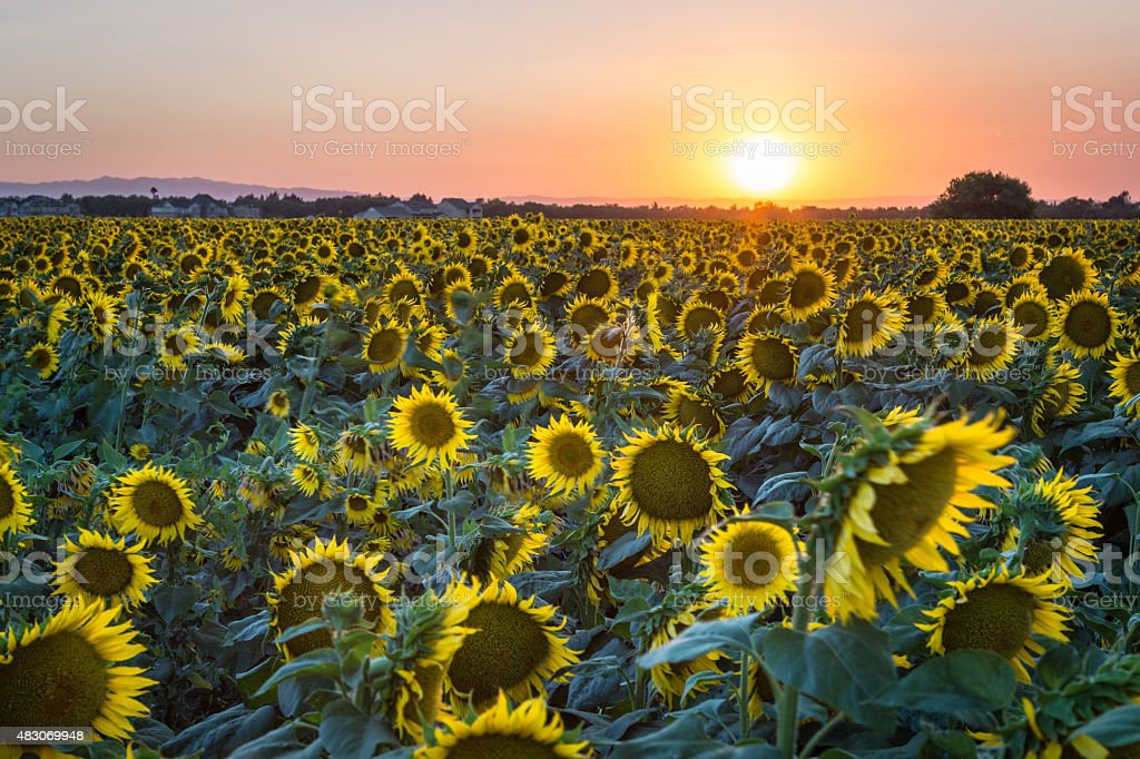 Davis Sunset Over Sunflowers stock photo