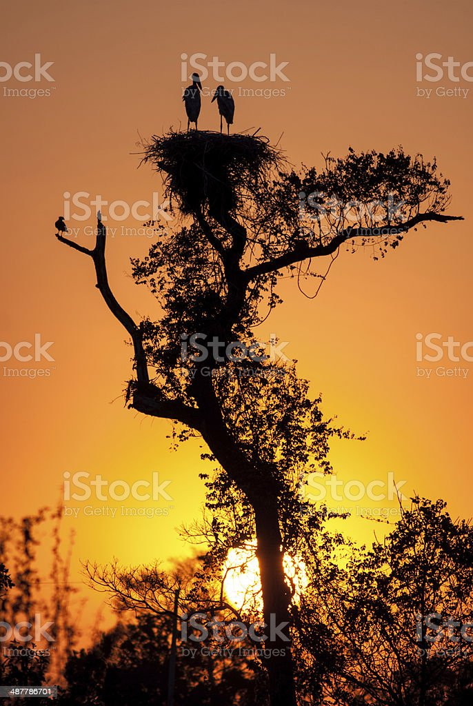 Dawn at jabiru stork nest stock photo