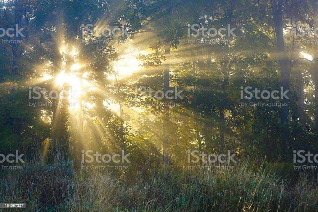 Dawn Breaks Through Foggy Forest royalty-free stock photo