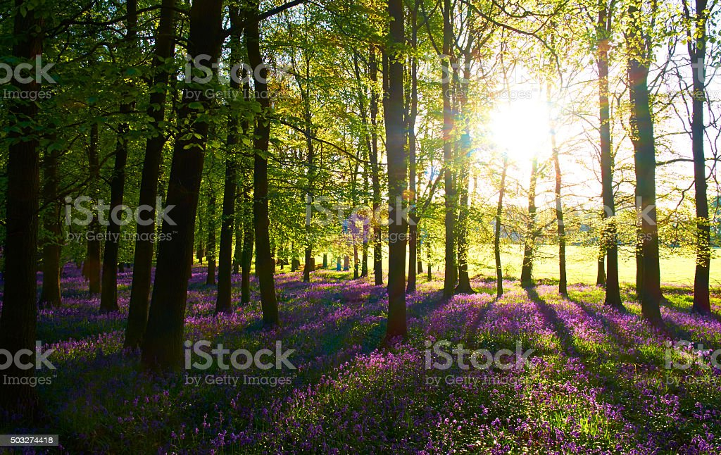 Dawn In The Bluebell Wood stock photo