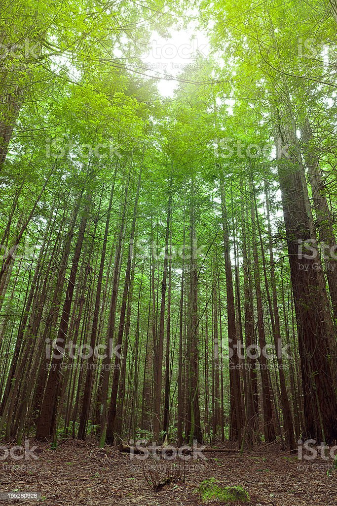 Dawn in the forest royalty-free stock photo
