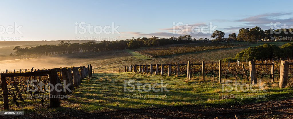 dawn in the vineyards stock photo