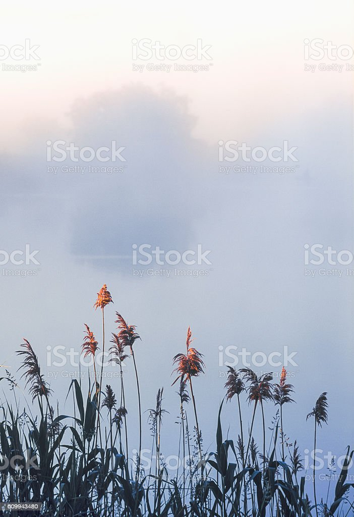 Dawn. Morning , reeds on  shore of  pond. Astrakhan r,  Russia. stock photo